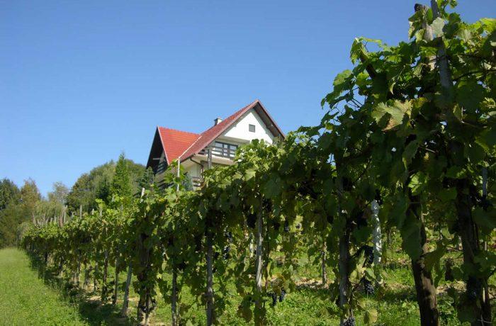 Owocujące winogrona